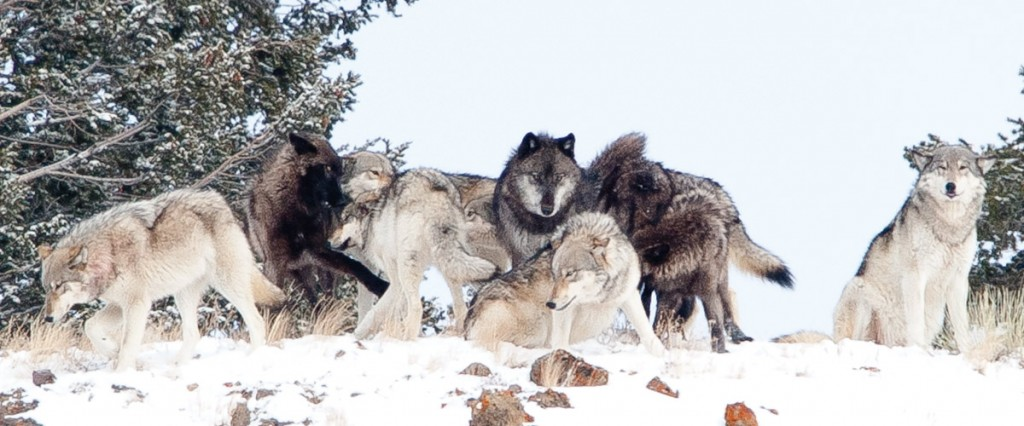 "Yellowstone's Lamar Pack. Writes photographer Jerry Ferrara: ""They had just gotten up after sleeping for several hours and were 'greeting' and making contact with each other, something they do regularly to maintain the social status of the pack. After nosing, rubbing and contact, they all trotted off probably to either hunt or to feed on a kill."""