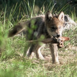 A 6-week old pup from the Landmark pack, central Idaho. At this age pups have often been moved from the den site to a rendezvous site – essentially a puppy playground for when the adults go on hunting forays