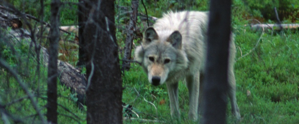 Alpha female, Chamberlain Basin pack. This wolf, B16, and her mate, B9, were captured in Canada, translocated to central Idaho in 1995 and formed one of the first documented breeding pairs