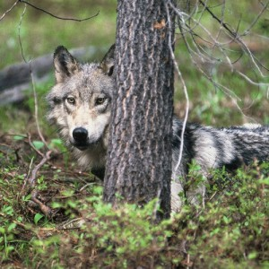 Female wolf B88 of the Chamberlain Basin pack in central Idaho