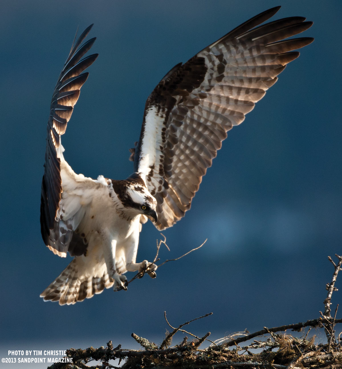 Osprey-putting-stick-in-nest-#2