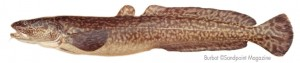 the burbot story of survival