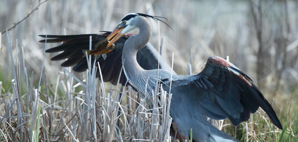 Great Blue Heron by Steve Jamsa