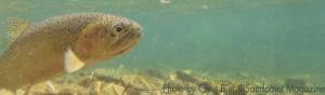 caught Trout by Chris Bier