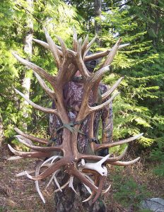 An elk shed can weigh 40 pounds.