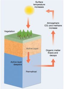 The methane from thawing permafrost amplifies existing atmospheric warming due to human activities.