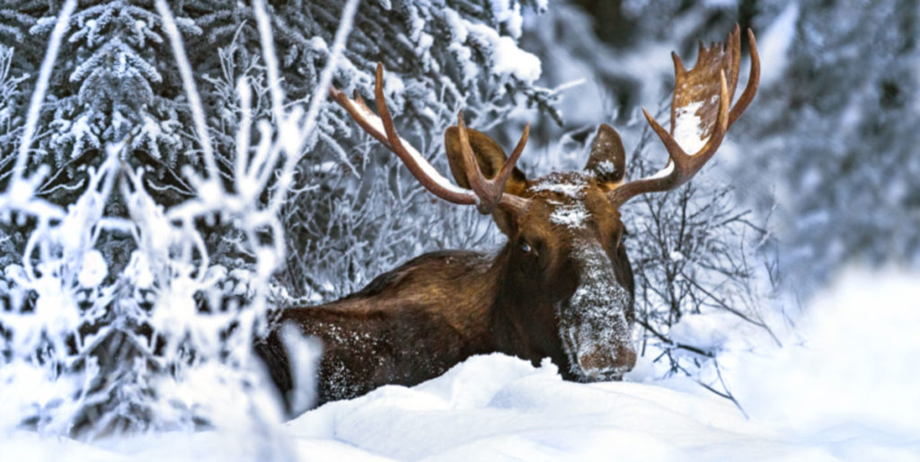 Bull moose in sandpoint idaho