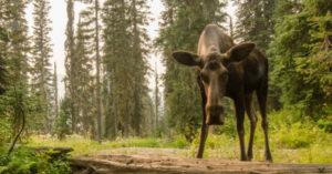 not a happy moose