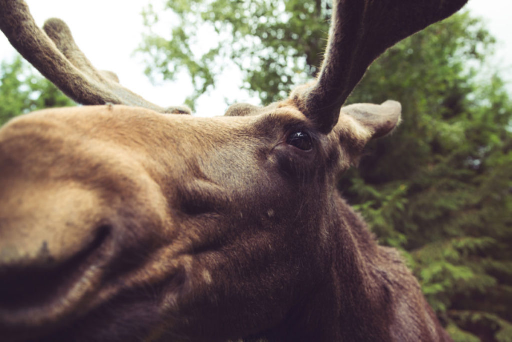 Moose up close